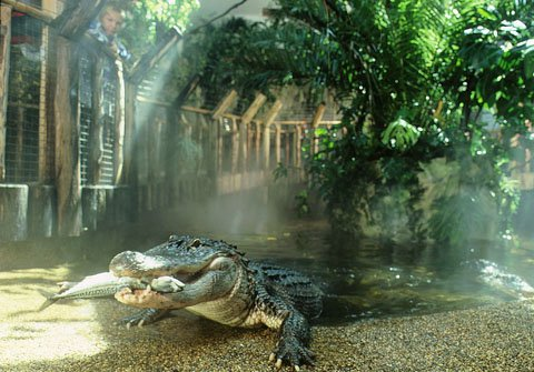 https://cestovnakancelariadaka.sk/files/product/phoca_thumb_l_alligator_www.tropicarium.hu.jpg
